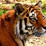 tiger-2341913
