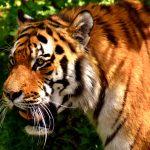 tiger-2341937