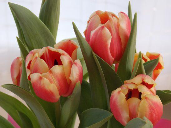 Tulips 083