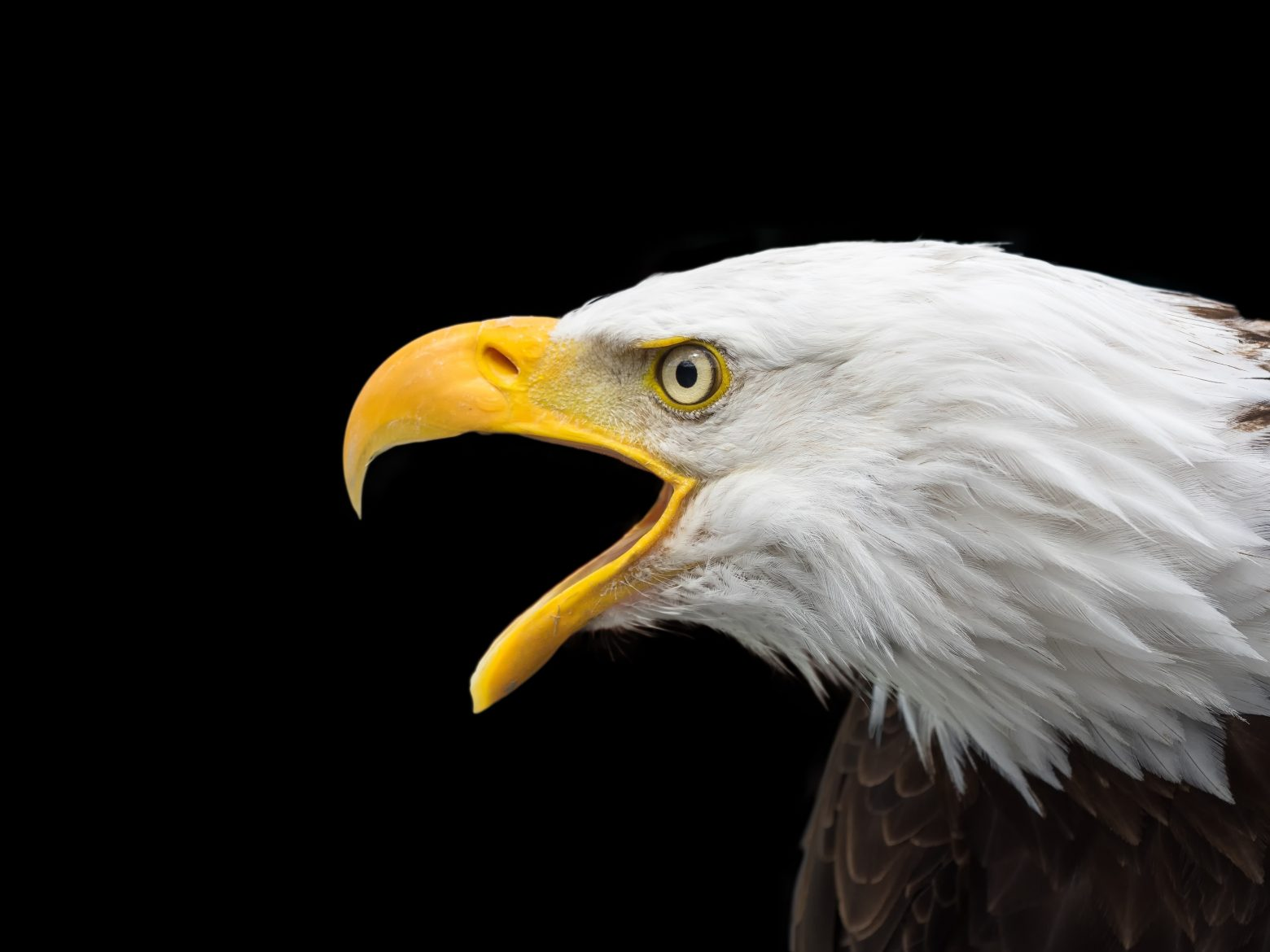 bald-eagle-2715461