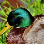 duck-2399770