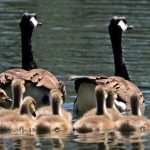geese-2494952