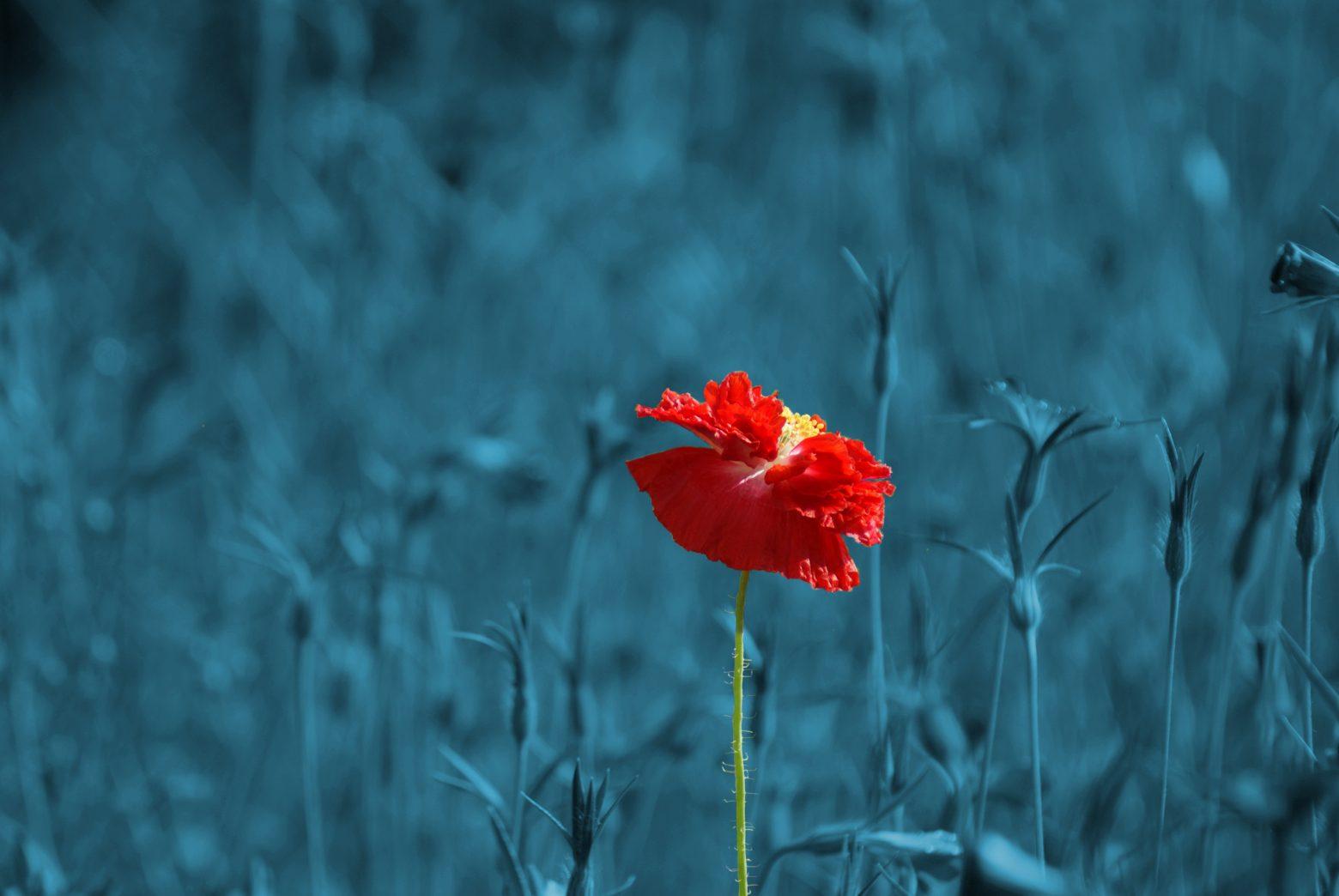 poppy-186635