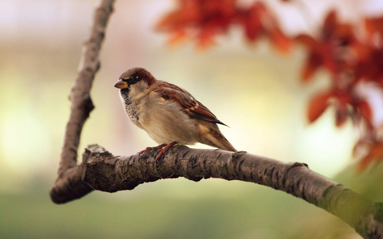 sparrow-9950