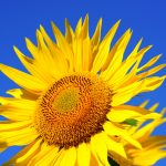 sun-flower-2511961