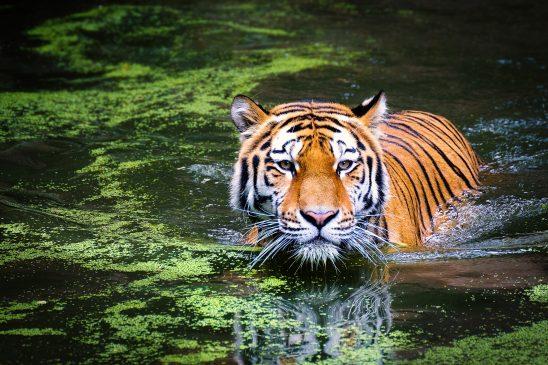 tiger-2535888
