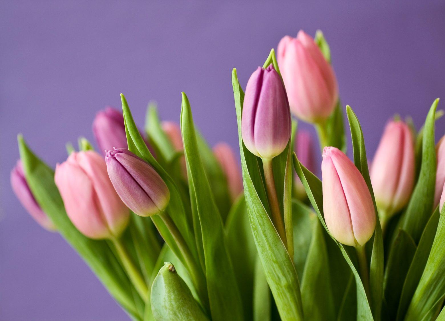 tulips-320151