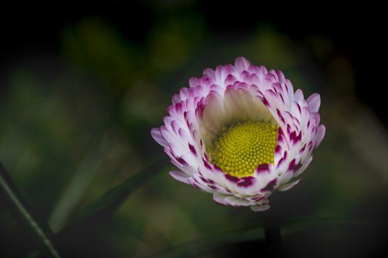 daisy-2907597
