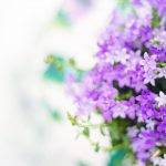 purple-flowers-2191635