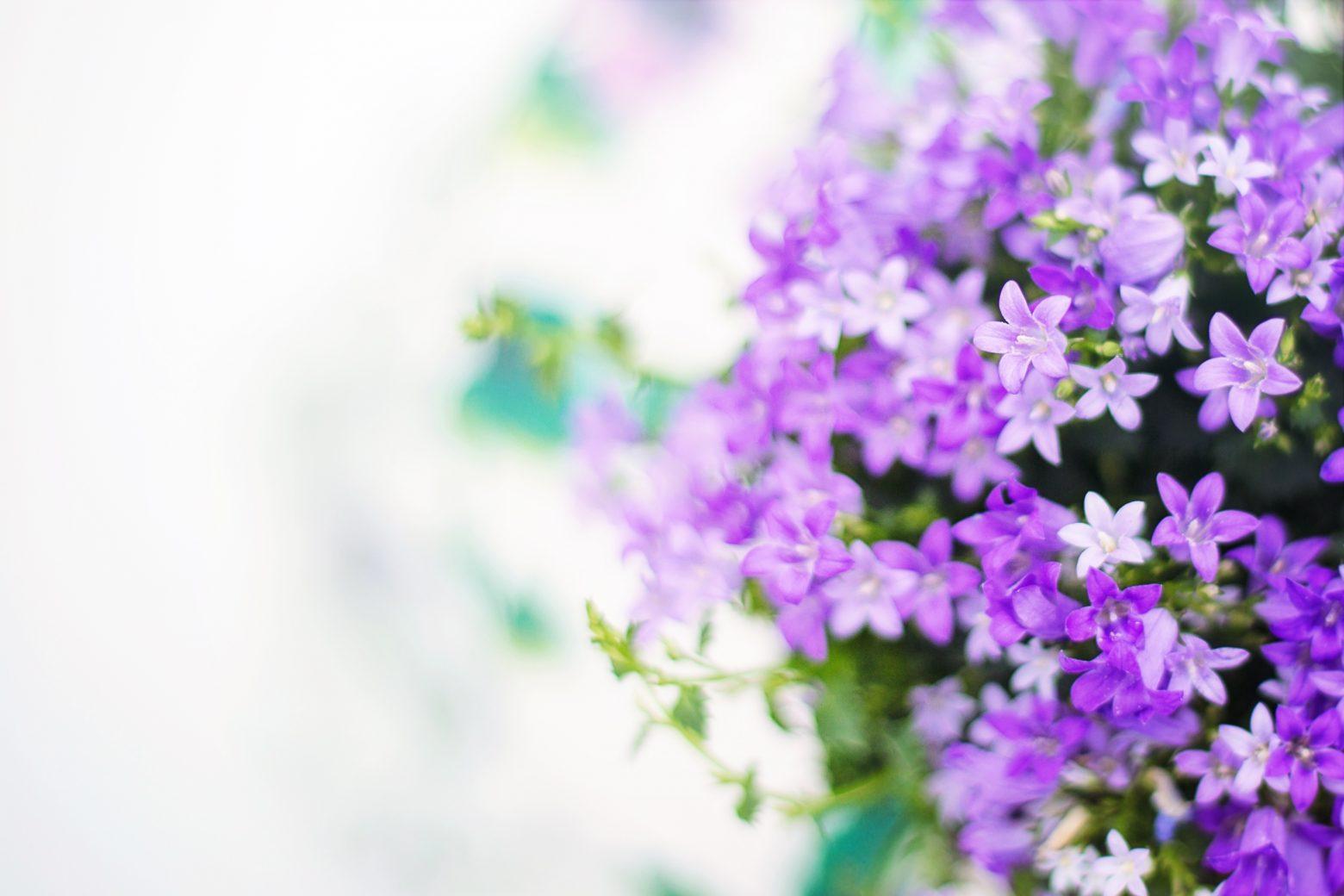 purple-flowers-2191635