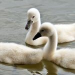 swans-1436266