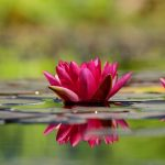 water-lily-1442497