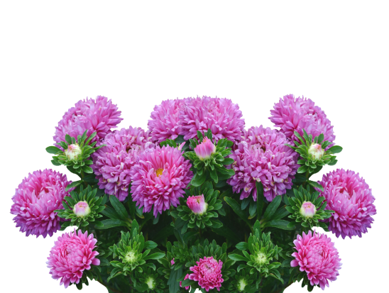 asters-2665289