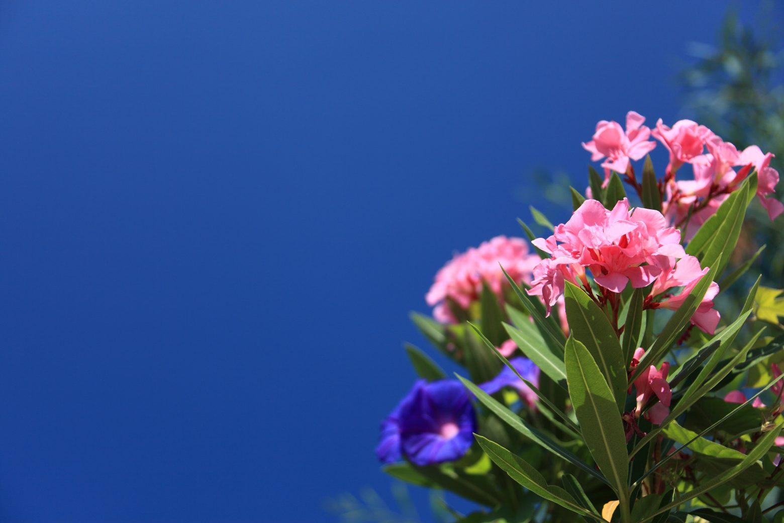 oleander-2771