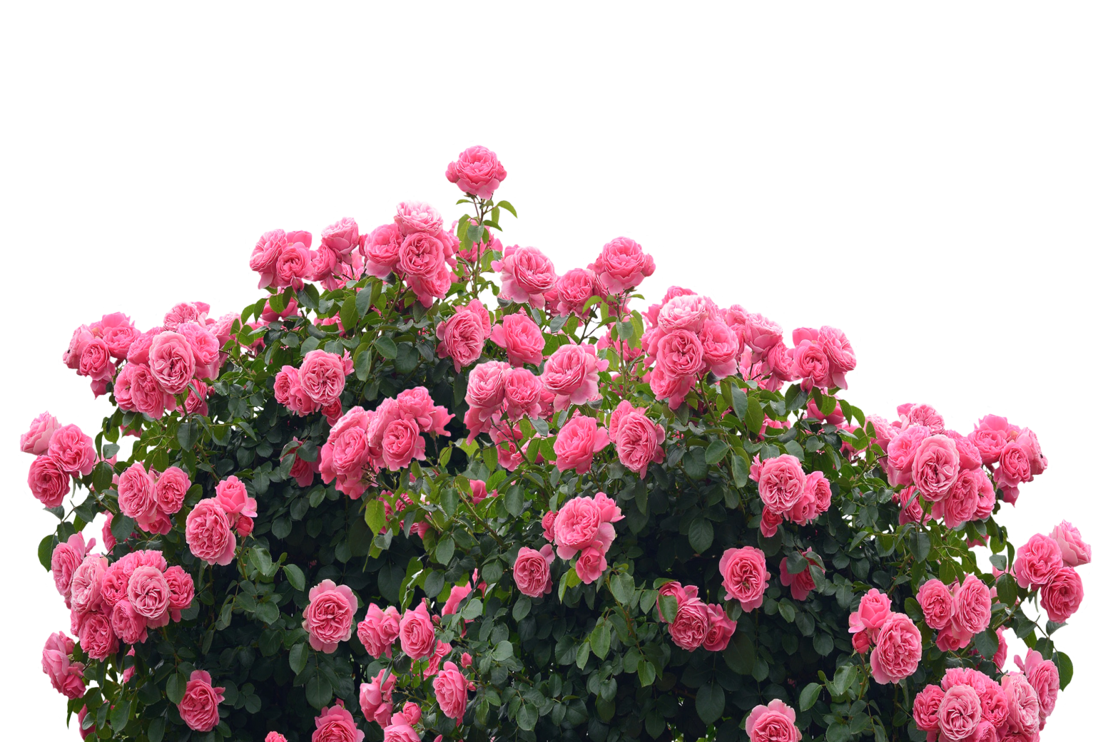 Love Garden Roses: Roses Love Nature Rose Bloom Pink Garden Flowers