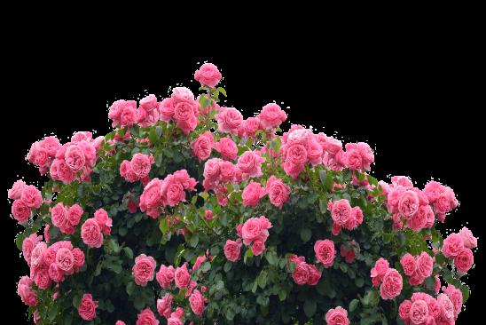roses-2923643