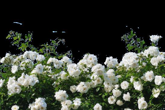 roses-2927481