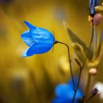 round-leaved-bellflower-1576086
