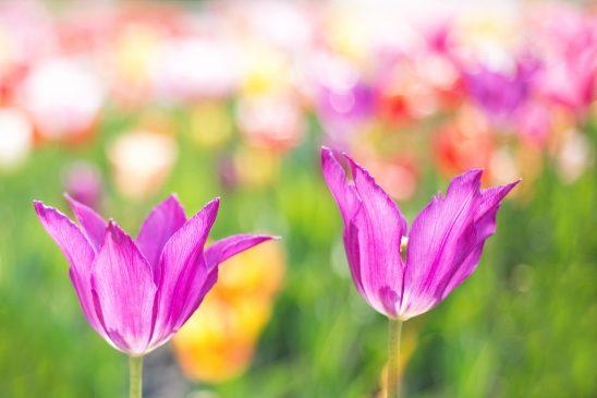 tulips-2201521