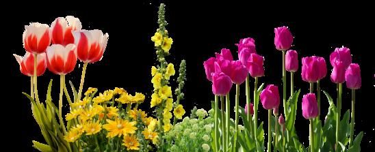 tulips-2973066