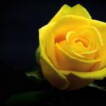 rose-3089663