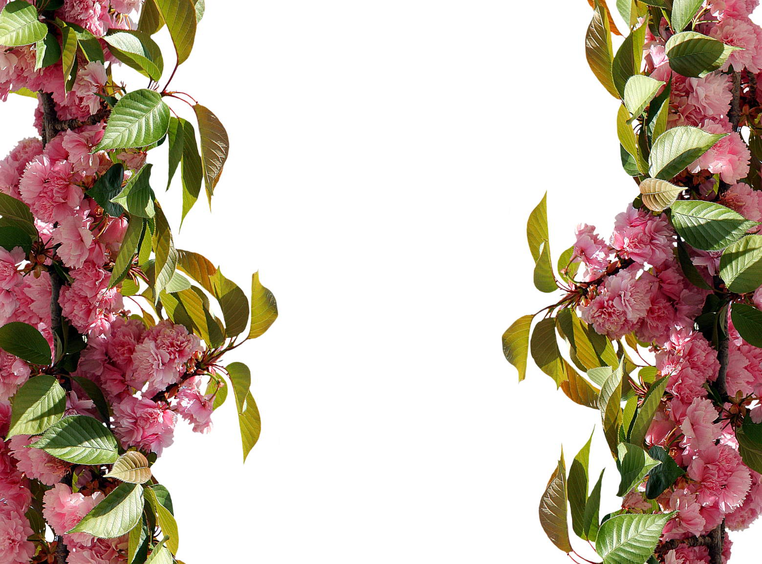 roses-2761630