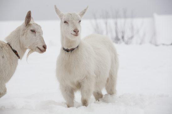 goat-2216868