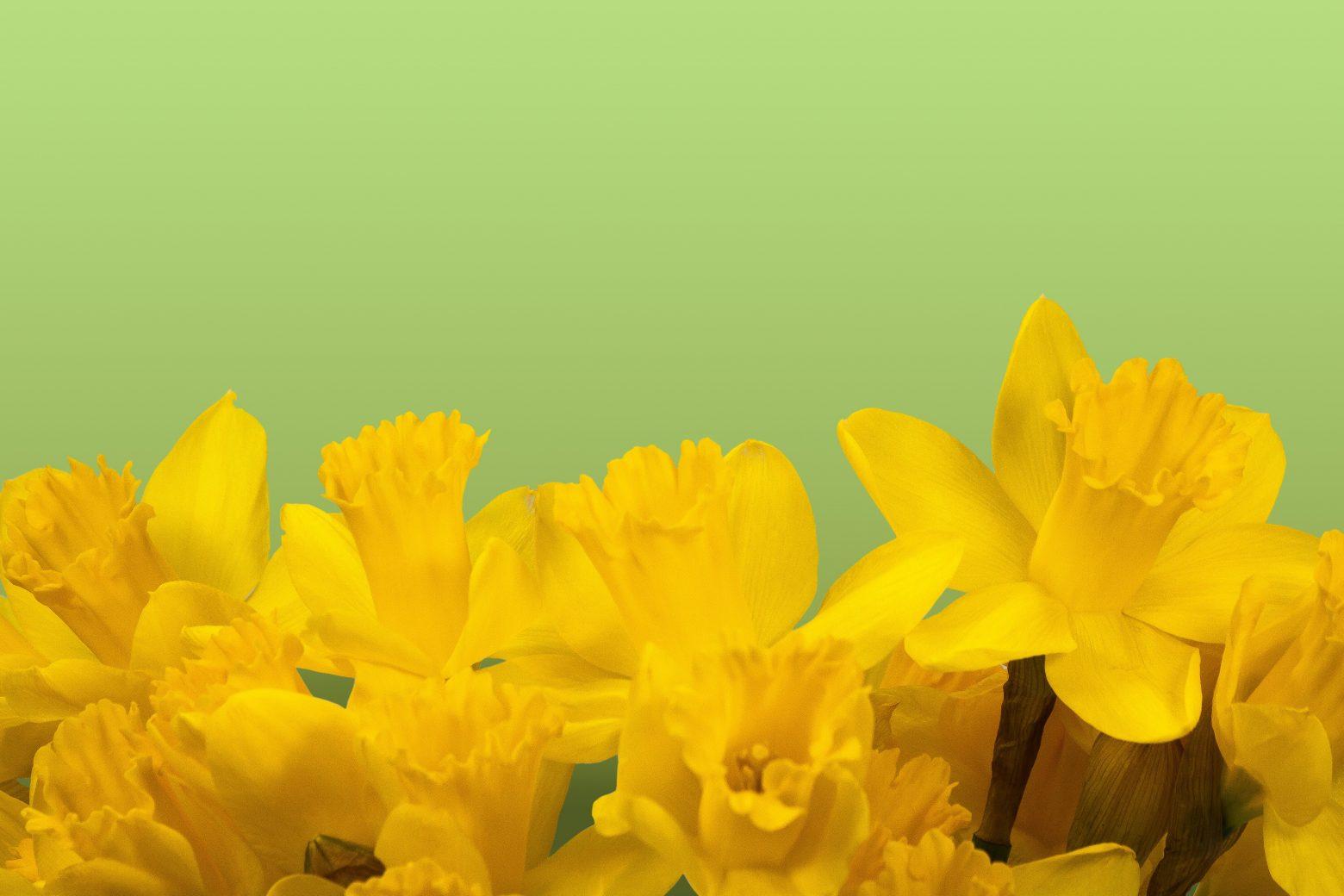 daffodil-1160904