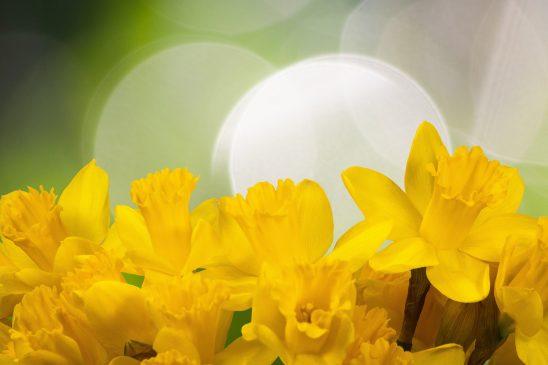 daffodil-1161057