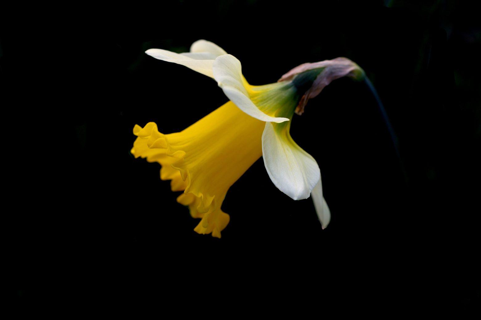 daffodil-2642550