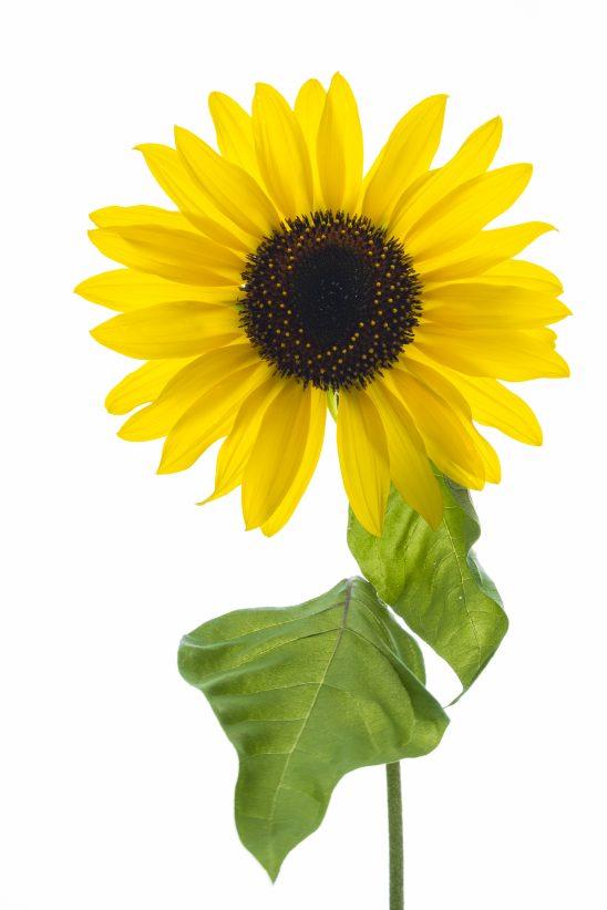 flower-2710504