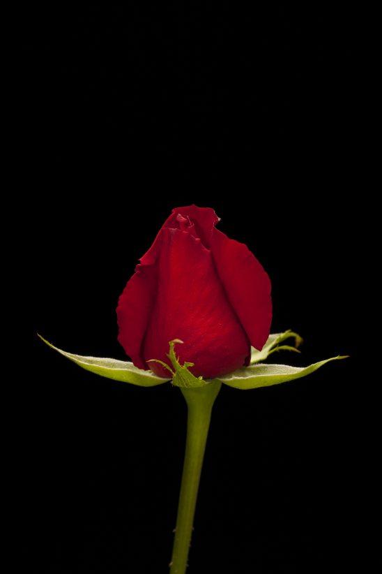 rose-2418416