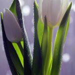 tulip-1010761