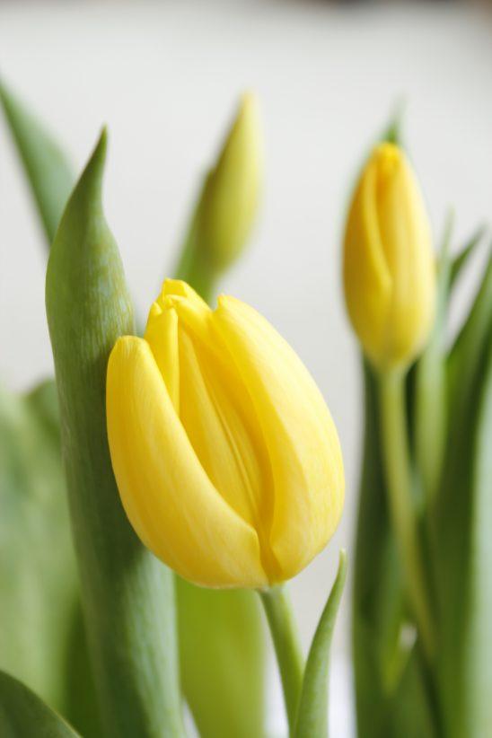 tulip-1925992