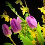 tulips-2180266