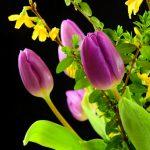 tulips-2180268