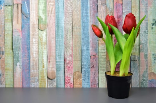 tulips-3167464
