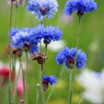 cornflowers-164918