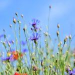 alpine-cornflower-3440640