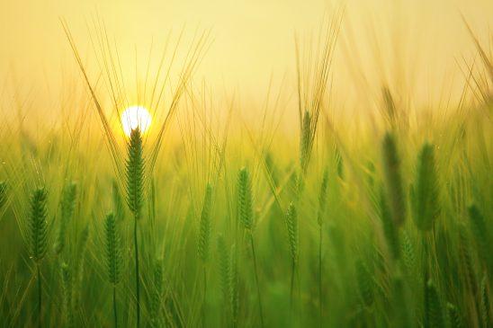 barley-field-1684052