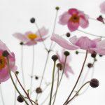 blossom-215565