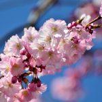 cherry-blossom-3301306