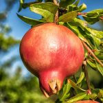 pomegranate-1710078