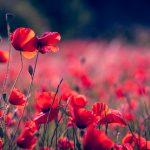 poppies-3374193