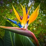 bird-of-paradise-flower-1359718