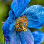 blue-poppy-2406935