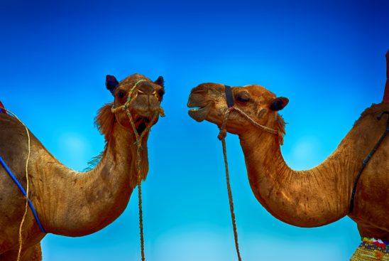 camel-2438017