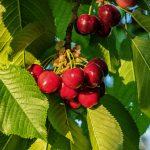 cherry-1442564