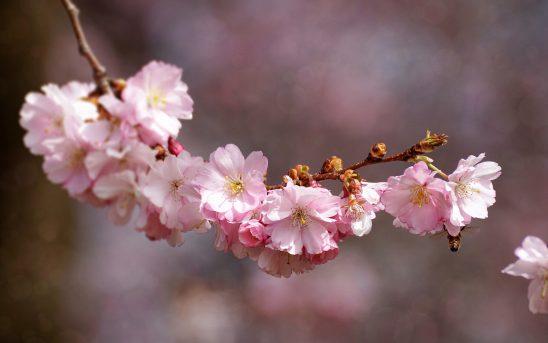 cherry-blossom-3285200