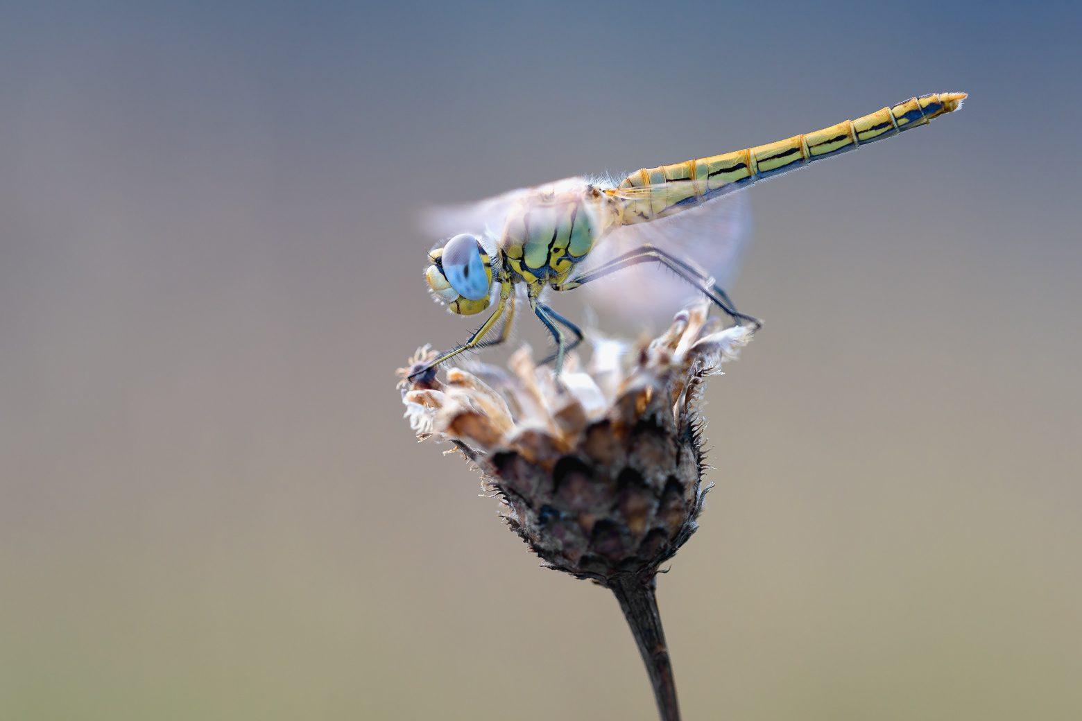 early-heath-dragonfly-2186186
